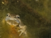 Lissotriton_vulgaris_-Smooth_Newt
