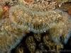 Bryozoa_-_Cristatella_mucedo