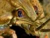 Noble_Crayfish_-_Astacus_astacus