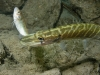 Northern_Pike--_Esox_lucius (12)