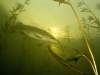 Northern_Pike--_Esox_lucius (4)