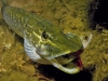Northern_Pike--_Esox_lucius (5)