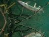 Northern_Pike--_Esox_lucius (7)