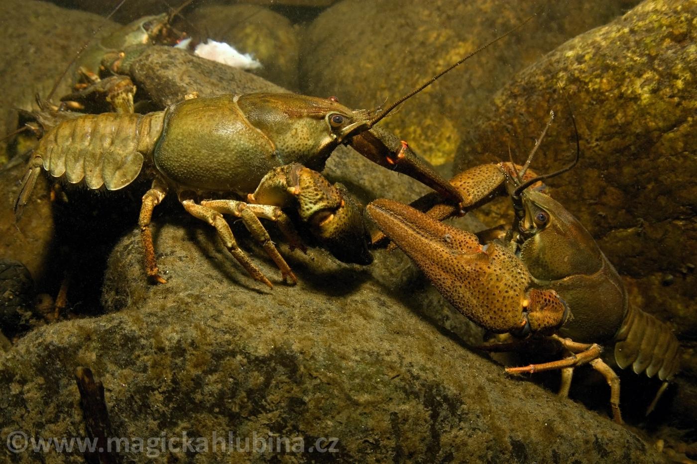 Astacus_astacus_-_Noble_Crayfish