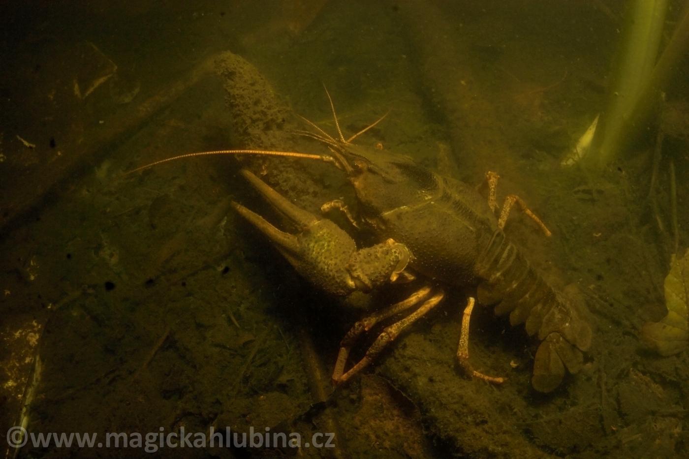 Astacus_leptodactylus_-_Danube_Crayfish