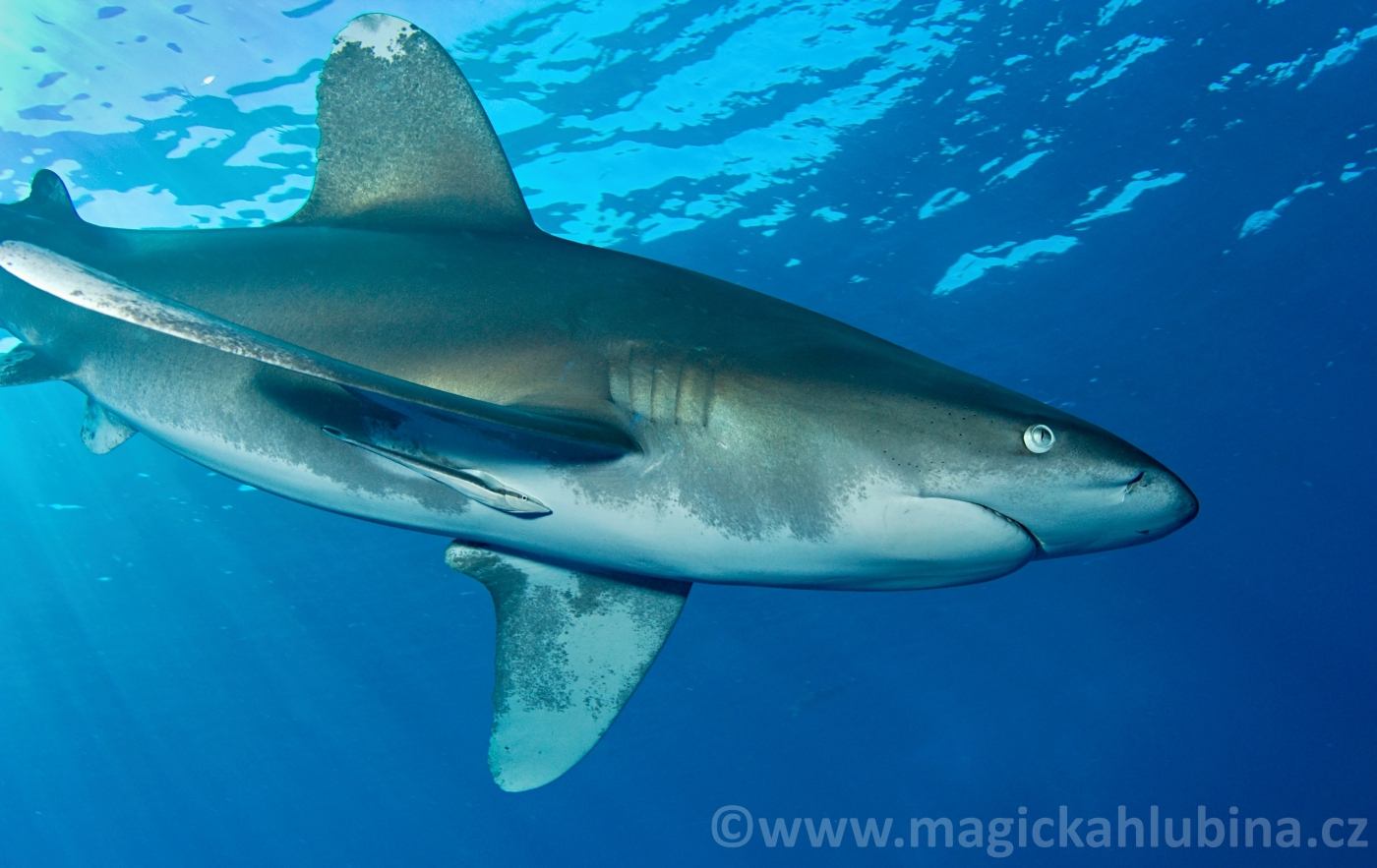 Carcharhinus_longimanus_-_Oceanic_Whitetip_Shark