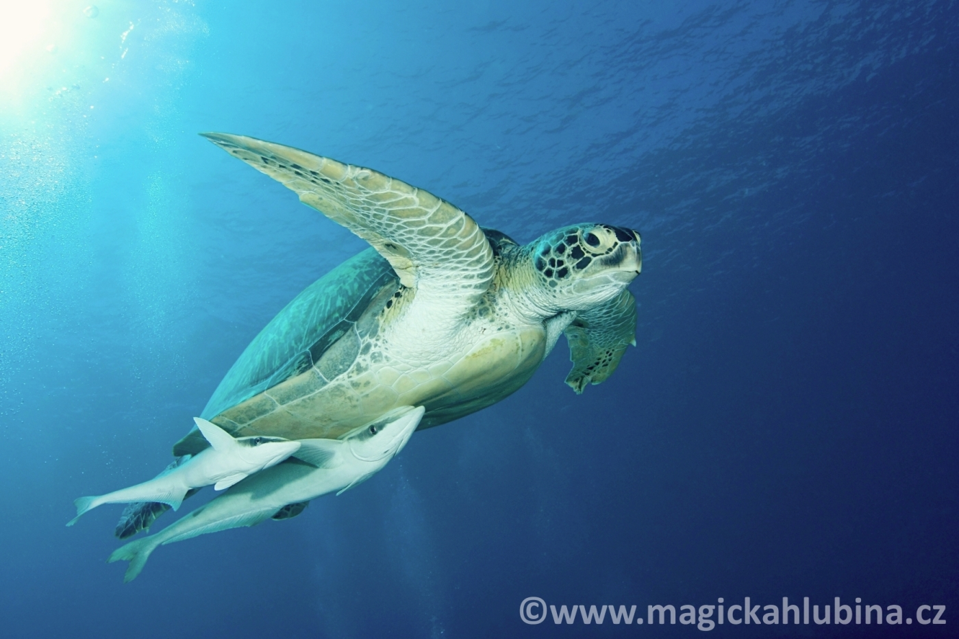 Chelonia_mydas_-_Green_Sea_Turtle