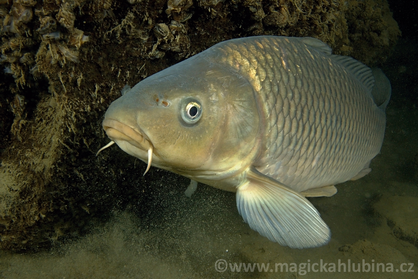 Cyprinus_carpio_-_Common_Carp