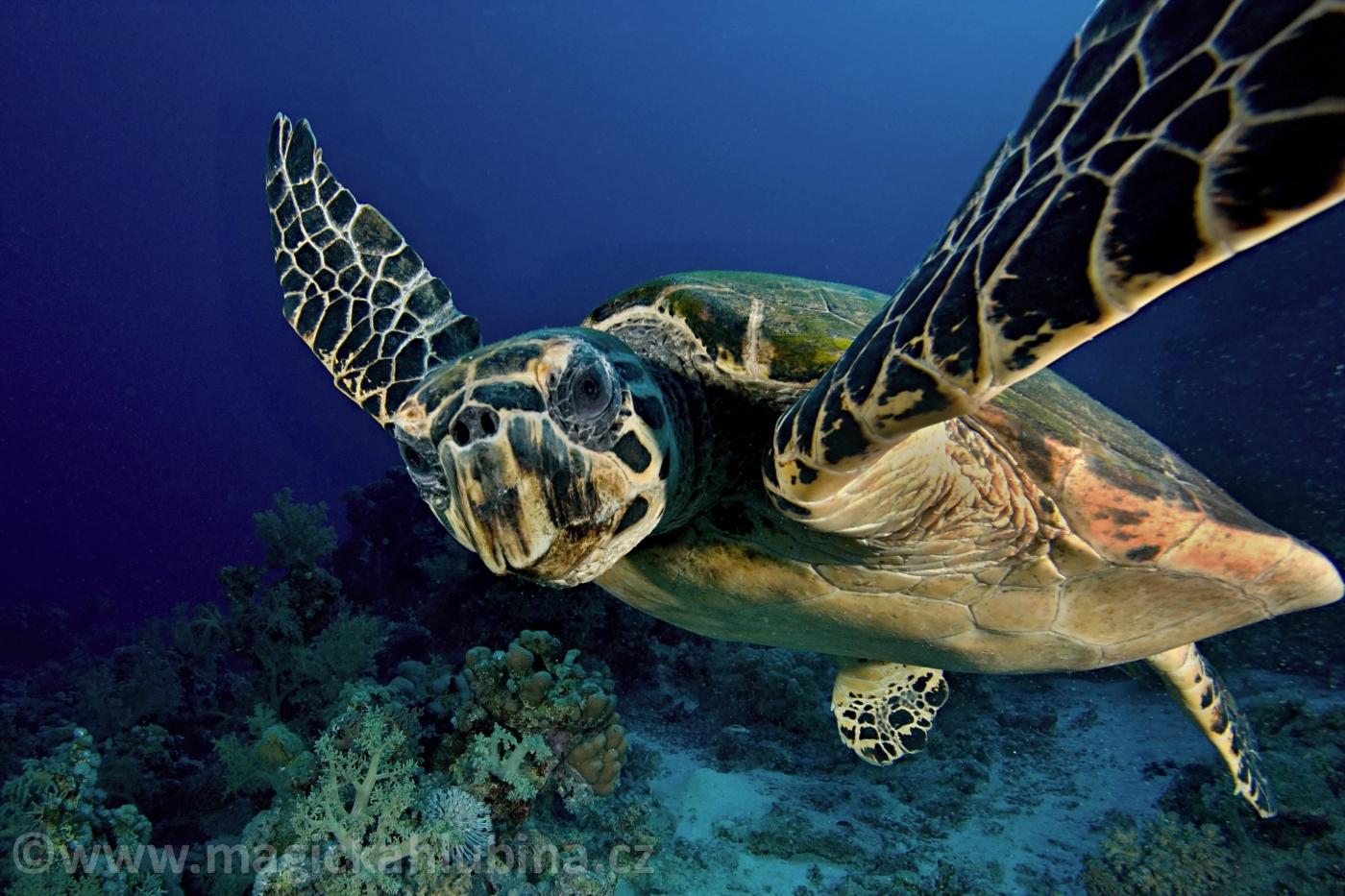 Eretmochelys_imbricata_-_Hawksbill_Sea_Turtle