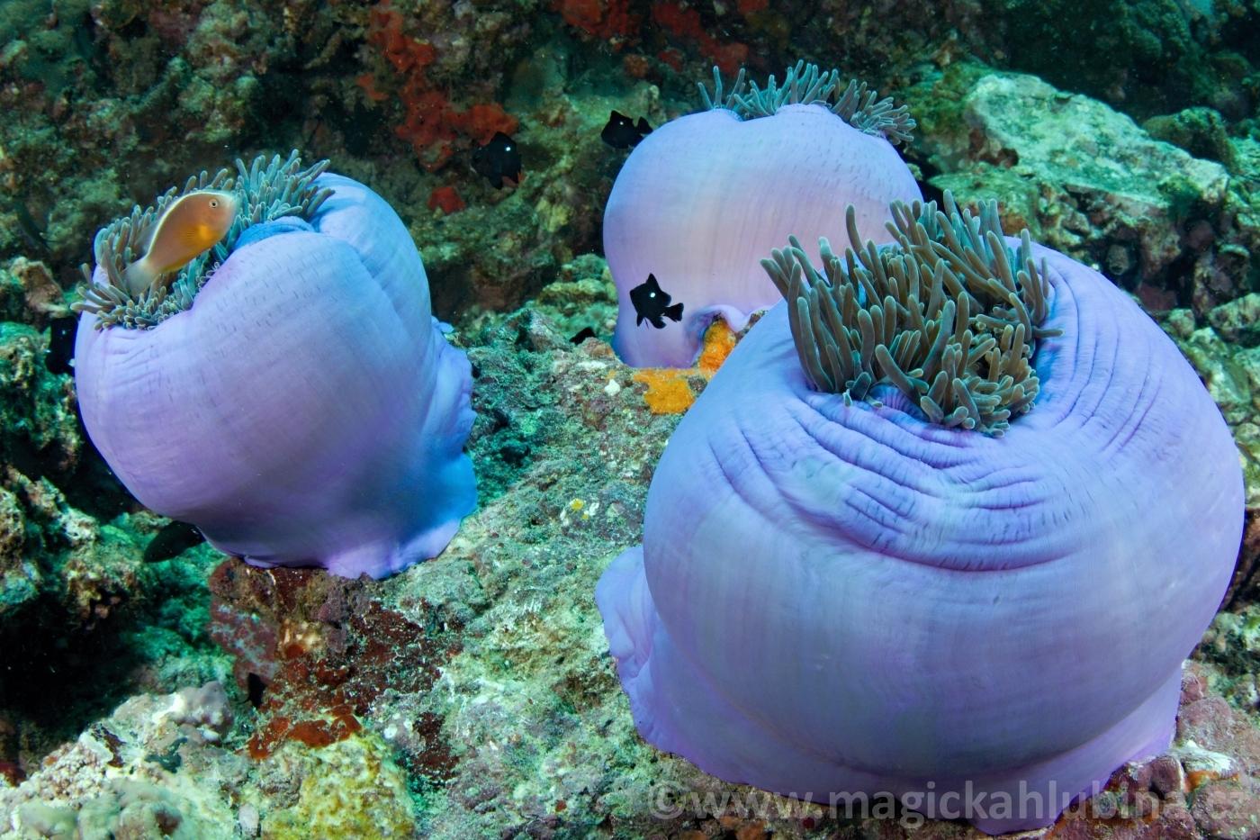 Heteractis_magnifica_-_Ritteri_anemone