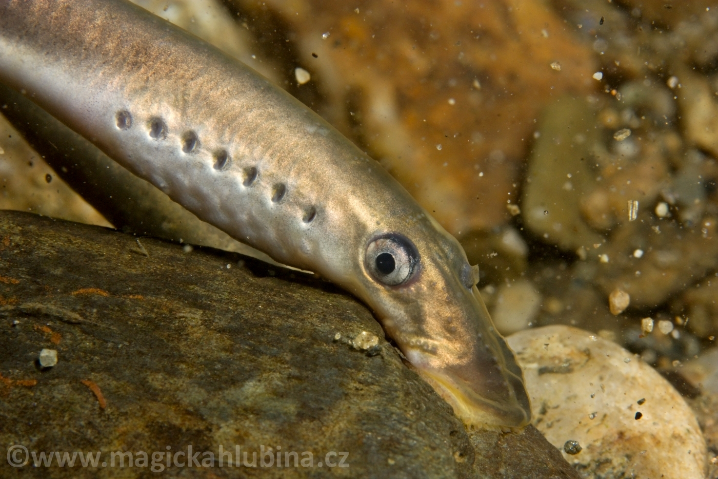 Lampetra_planeri_-_European_Brook_Lamprey