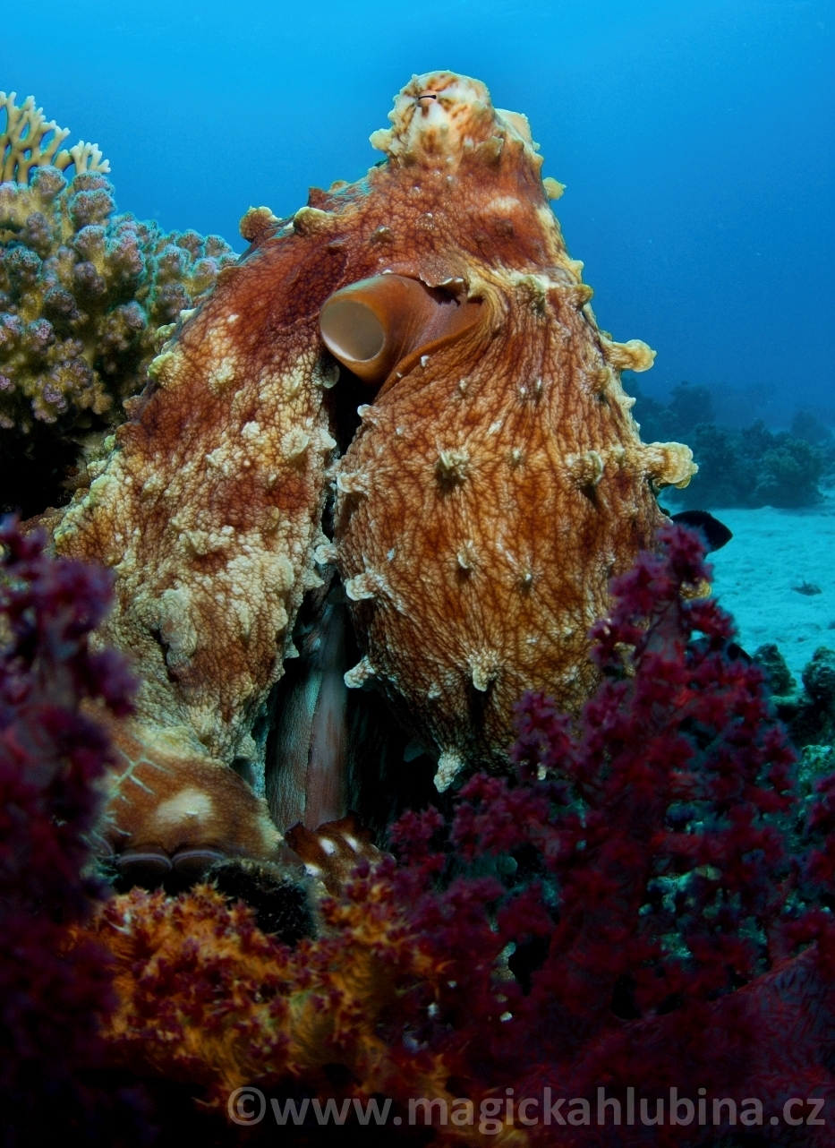 Octopus_cyanea_-_Big_Blue_Octopus