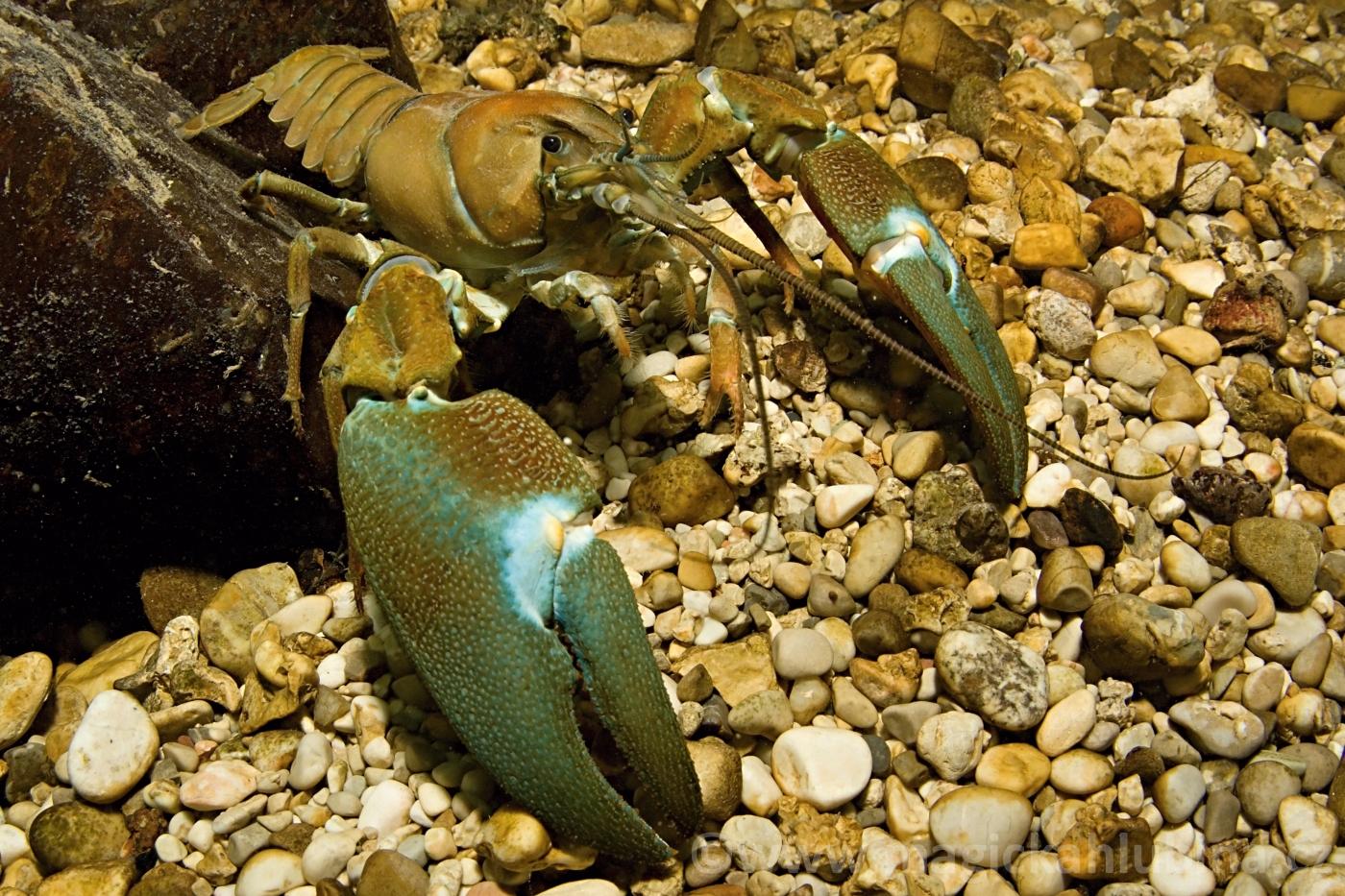 Pacifastacus_leniusculus_-_Signal_Crayfish
