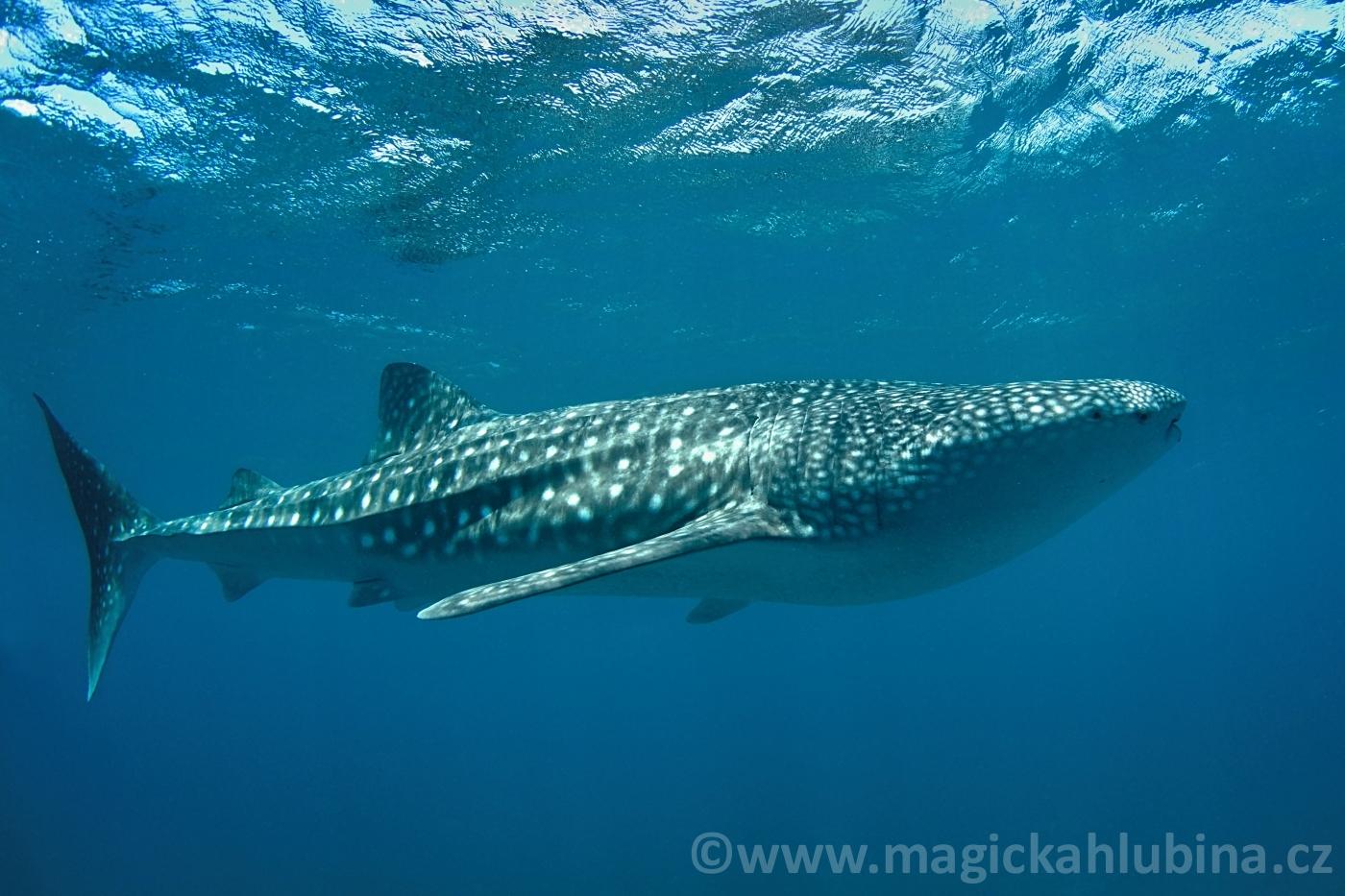 rhincodon_typus_-_whale_shark
