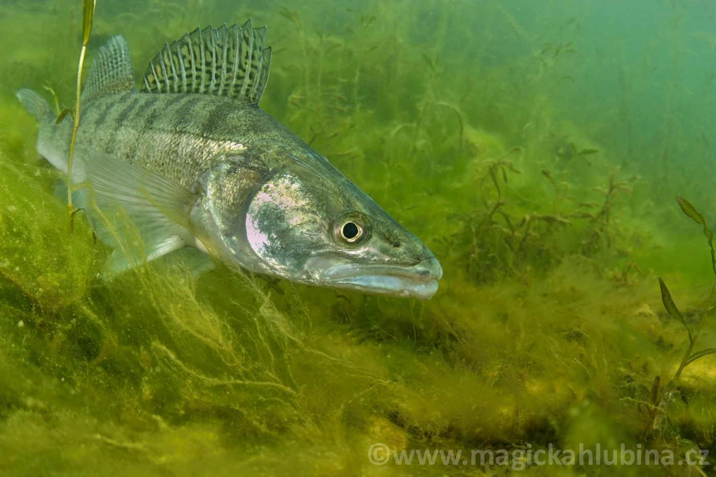 Sander_lucioperca_-_European_Pike-perch