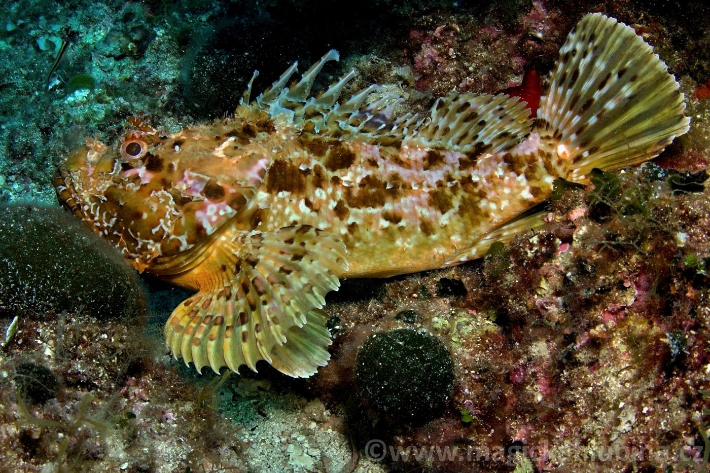 Scorpaena_Scrofa_-_Bigscale_Scorpionfish