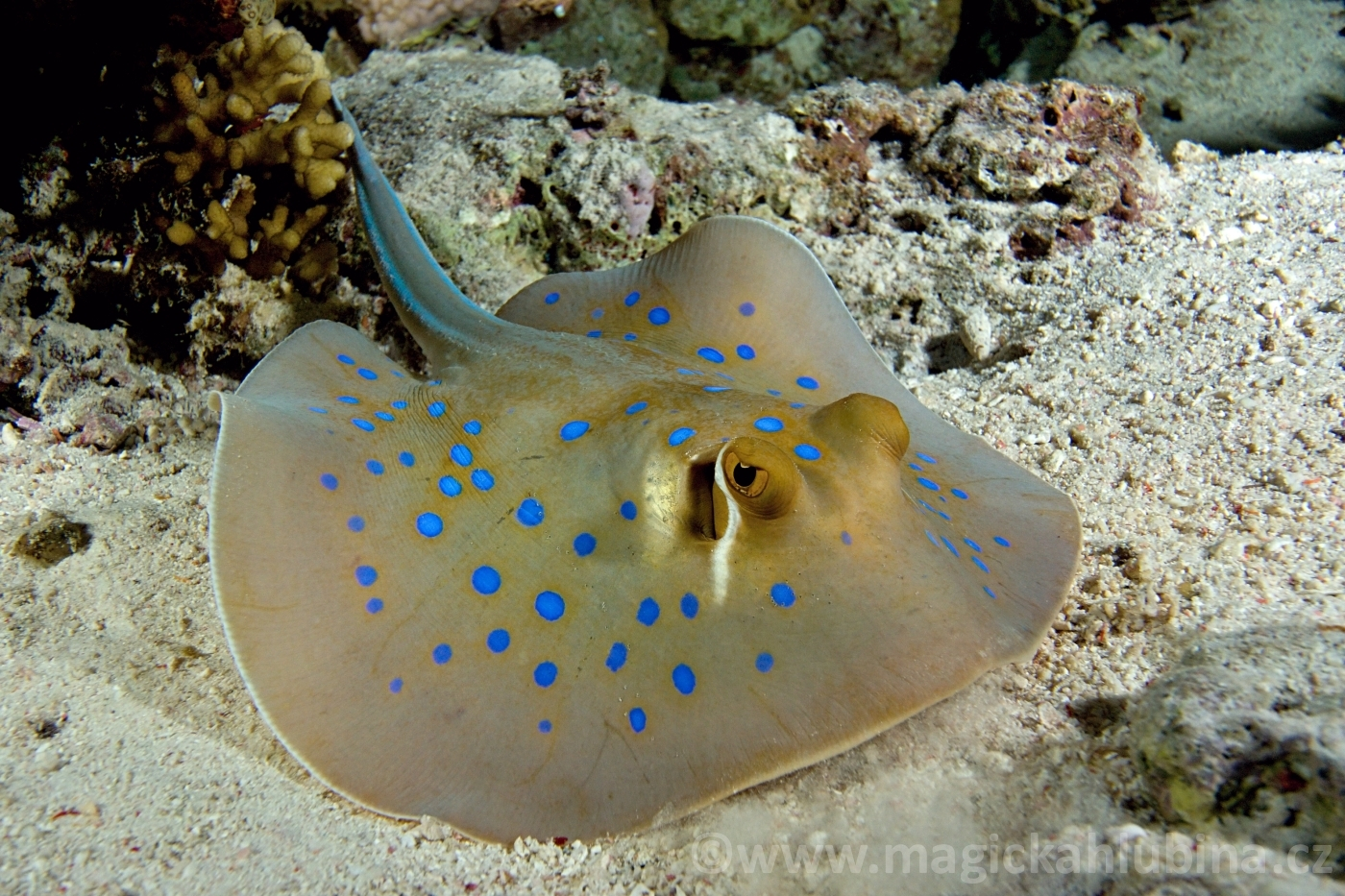 Taeniura_limma_-_Blue_Spotted_Stingray