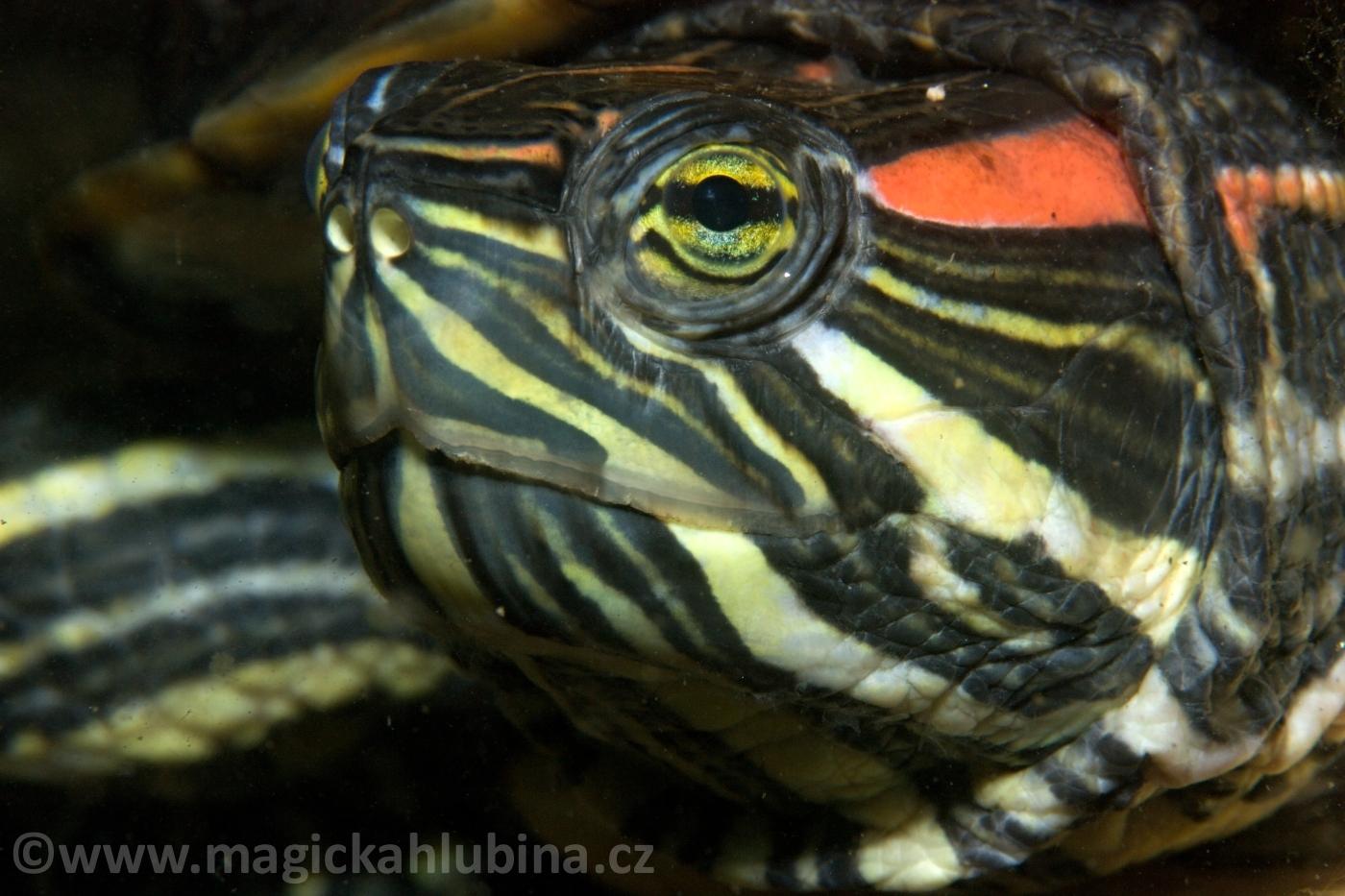 Trachemys_scripta_elegans_-_Red-eared_Turtle